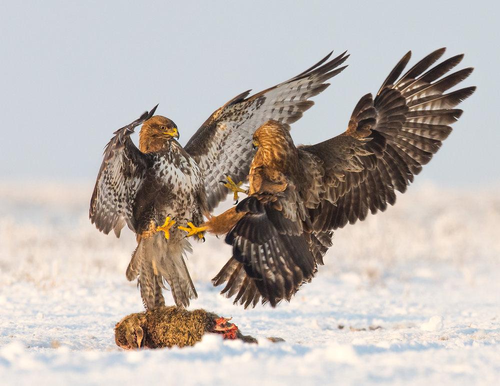 buzzards fighting lab color _70R1319.jpg