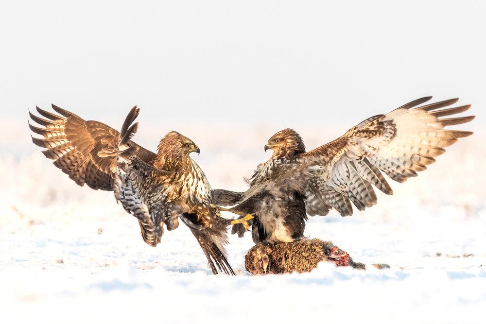 buzzards fighting _A8I3674.jpg