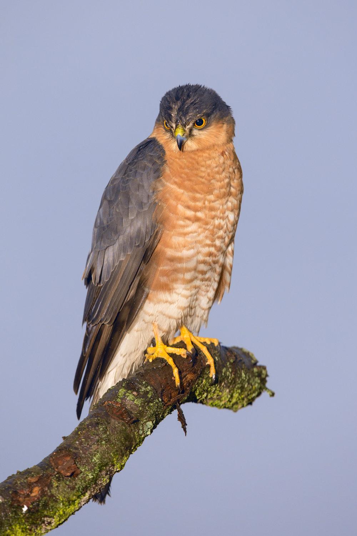 sparrowhawk lab color _70R9840.jpg