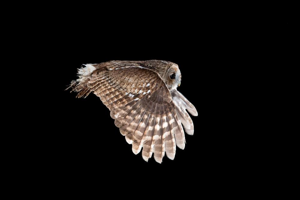 tawny owl flying backlight flash _A8I6270.jpg