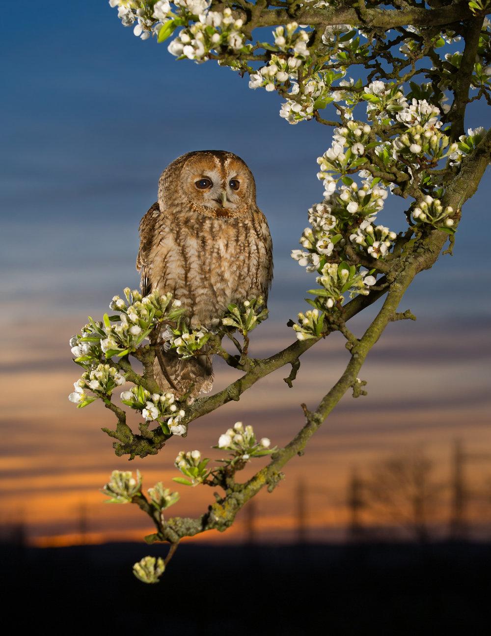 tawny owl lab color _70R4447.jpg
