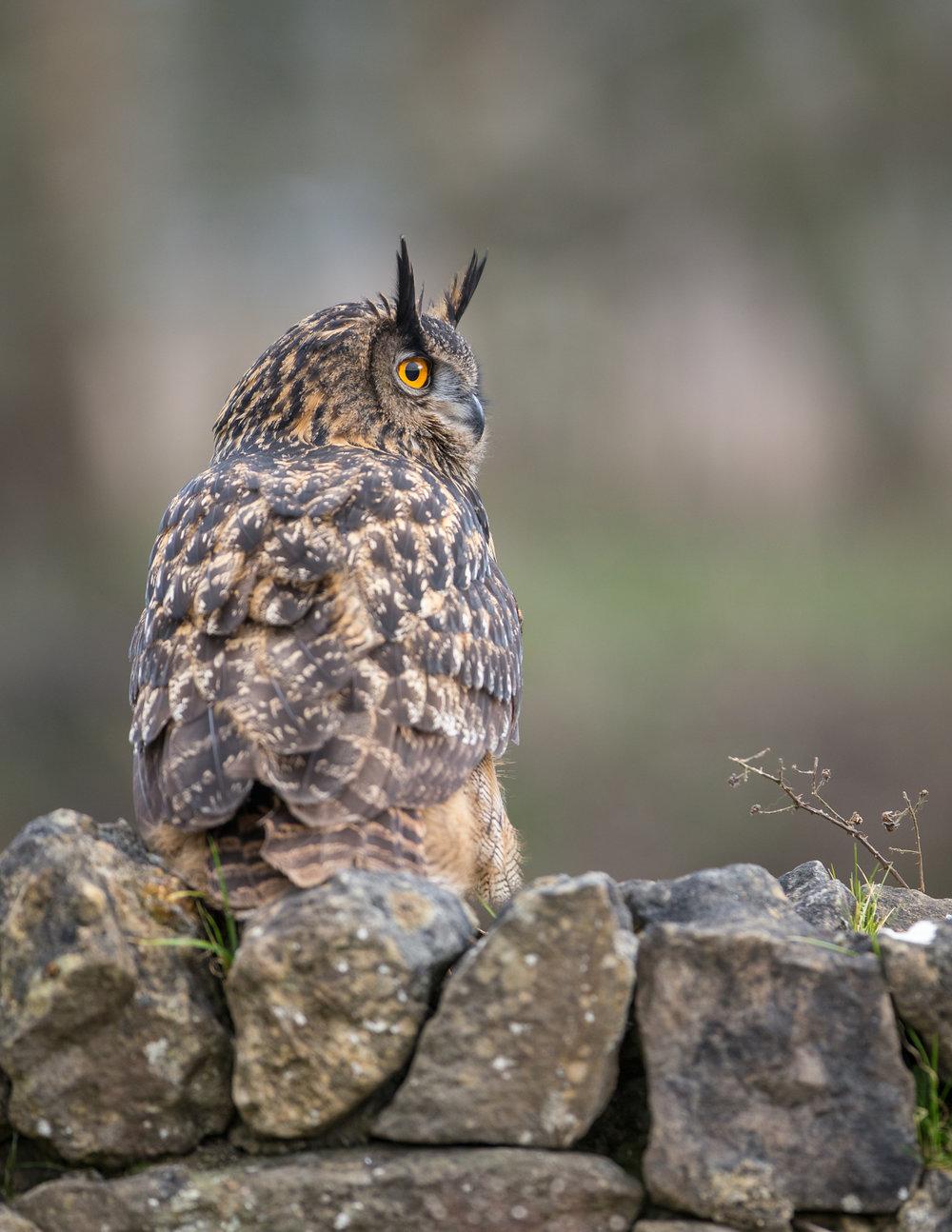 Eagle owl lab color _70R1515.jpg