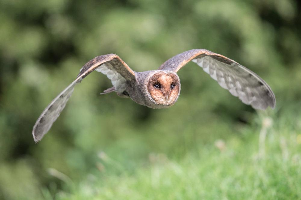barn owl dark morph lab color _70R9734.jpg