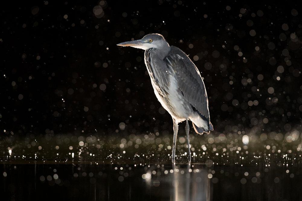heron rain noise reduction_A8I7558.jpg