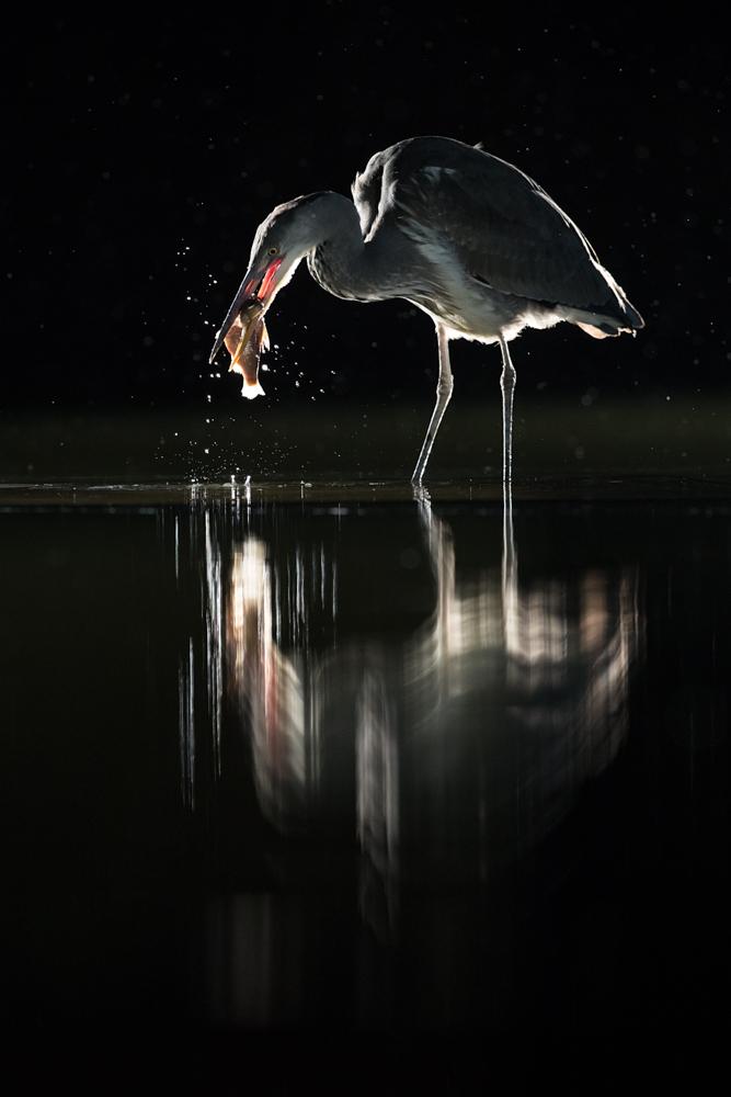 heron and fish rain backlit_A8I7575.jpg