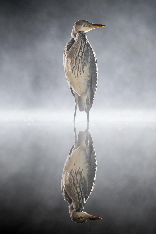 misty heron noise reduction_A8I8035.jpg
