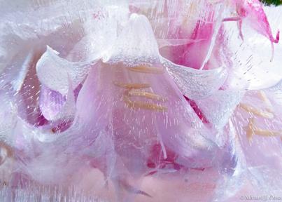 Pink Ladies-I.jpg