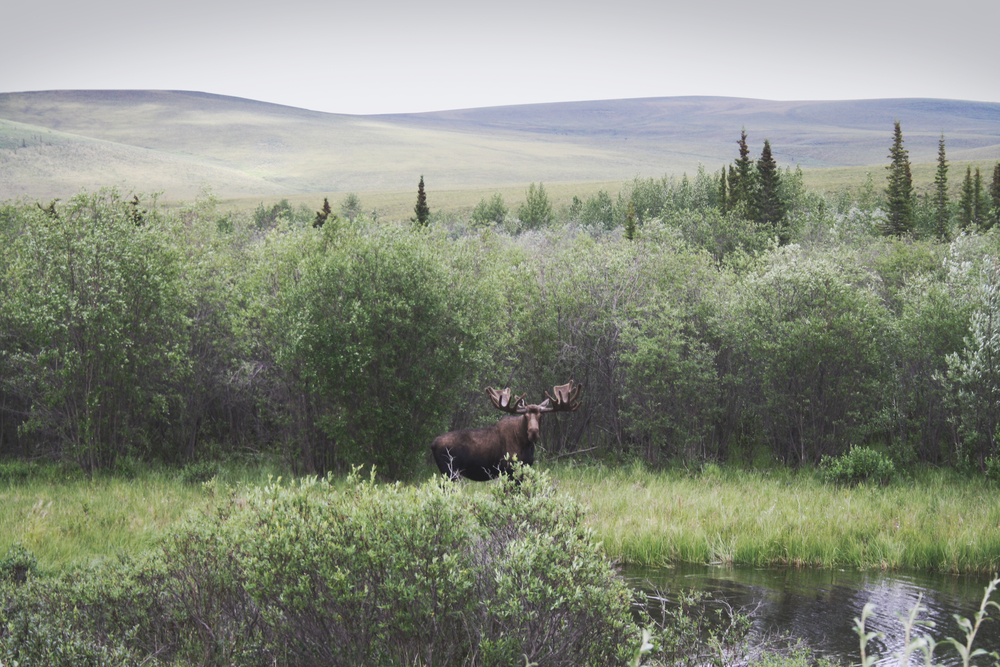 """Blackstone River Moose"" by Peter Vooys, Yukon,2014"