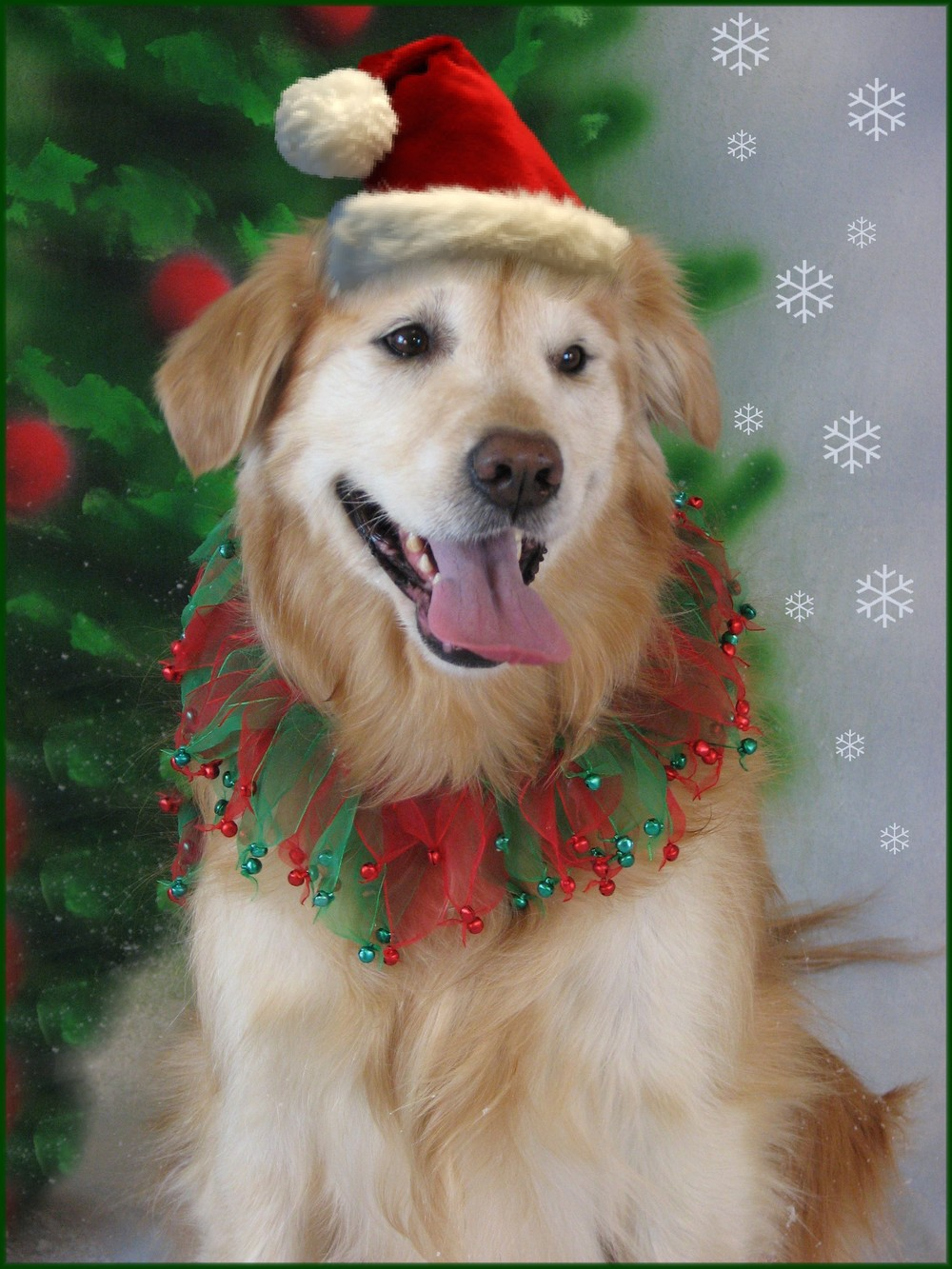 In honor of my wonderful 14 year old Golden, Cagney, that I adopted back in 2002. She's still going strong and living life to the fullest!! Love you Cag! Mom/Samantha Hillmer