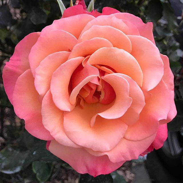 So many varieties of roses to please the eye and nose. Rose essential oil uplifts the mind and soothes the heart. Enjoy this virtual hug from lovely Rosa 💗 #flowerpower #rose #essentialplantwisdom #essentialoils #plantwisdom #hearthealing #uplift #love