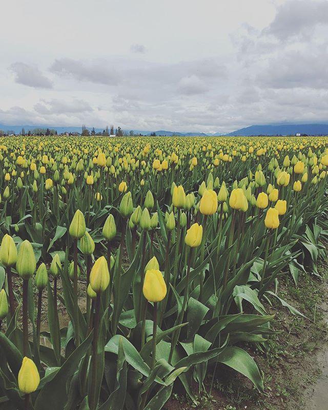 12/52 — Tulips