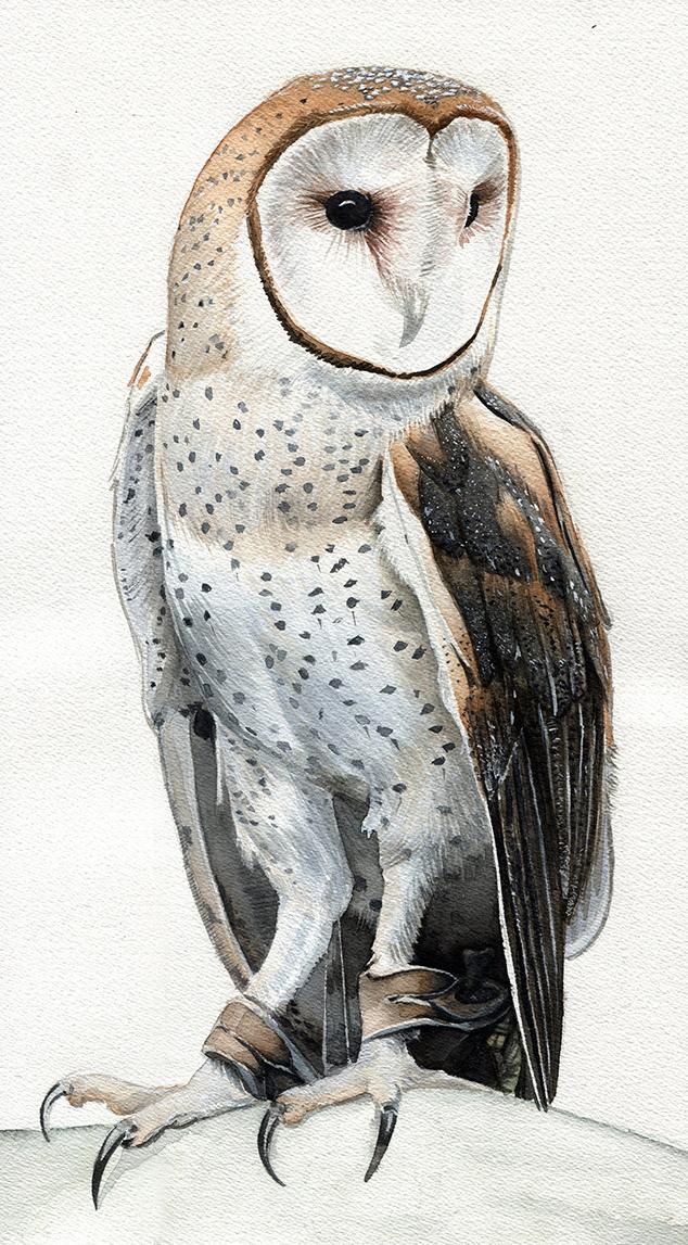 Barn Owl Study(small)