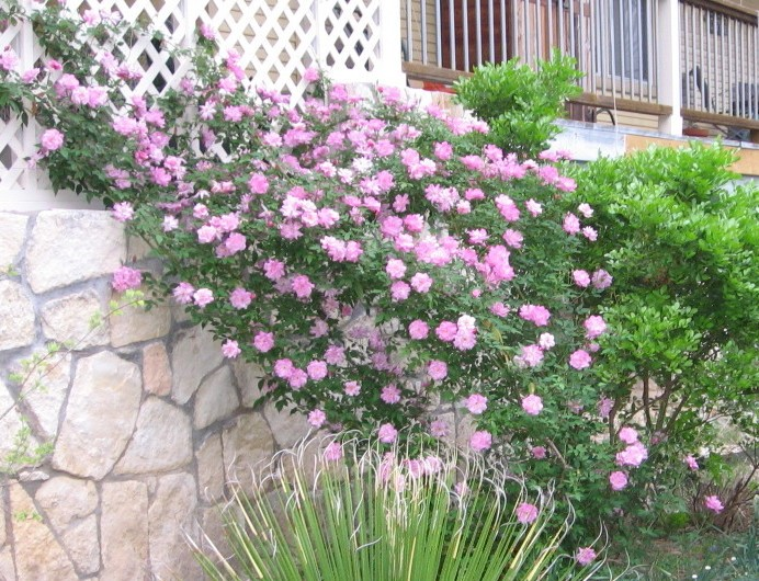 Old Blush Rose in front of south-facing stone wall - March 2011