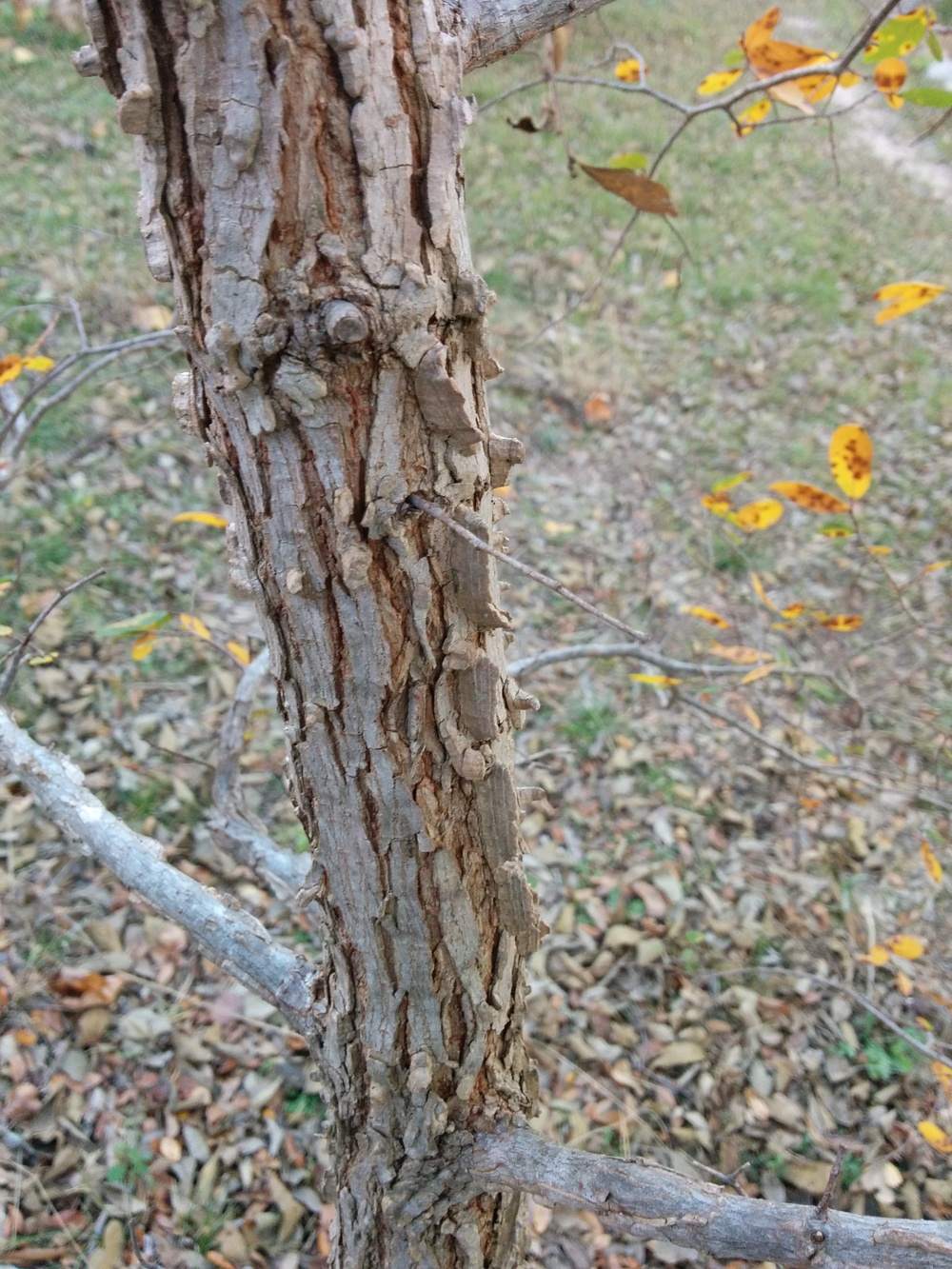 Corky bark of a cedar elm with winged protrusions