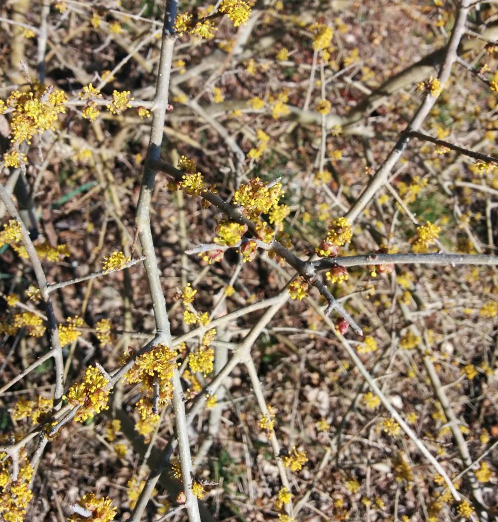 Spring herald, aka elbow bush, Feb 2015