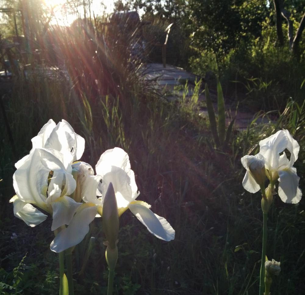 Cemetery iris 2015