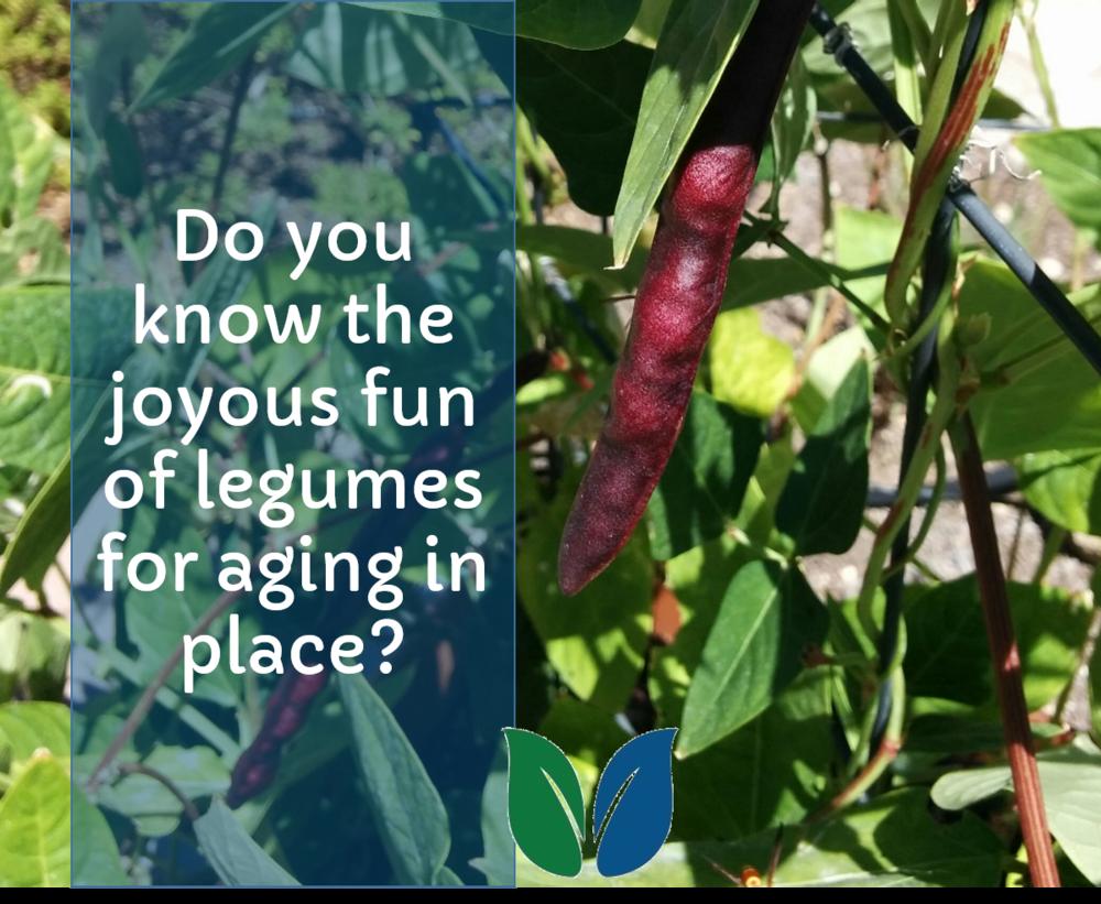 purple hull peas on the vine