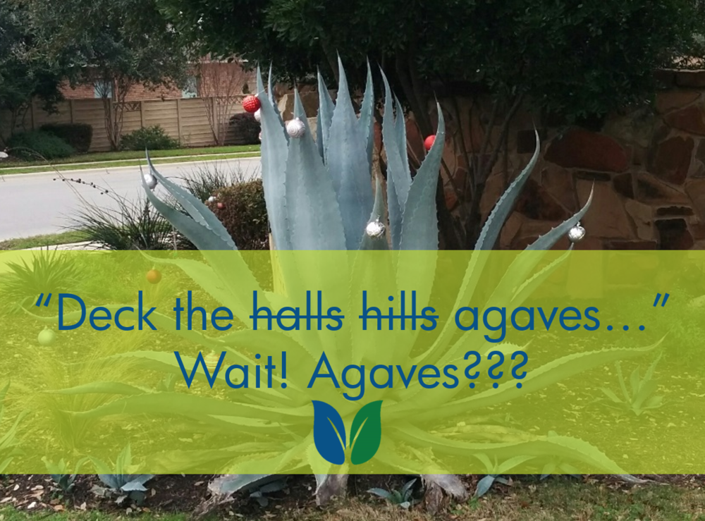blog header image 20 December 2015 - agave with ornamental balls on leaves