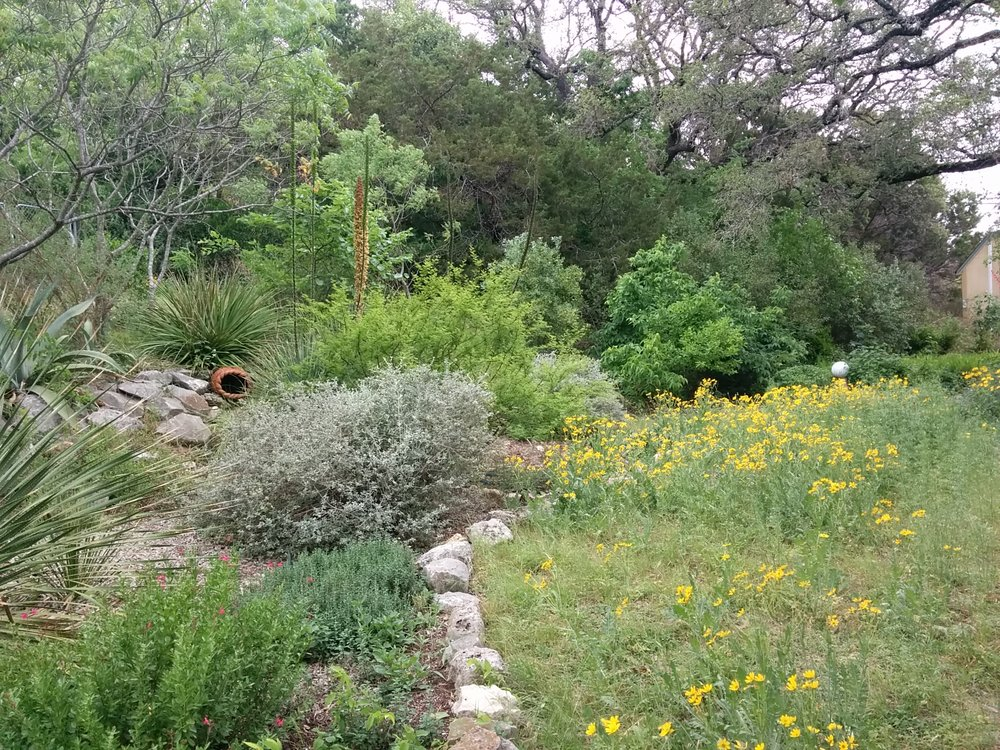 Englemann Daisy, other Texas native plants and drought-tolerant shrubs on caliche