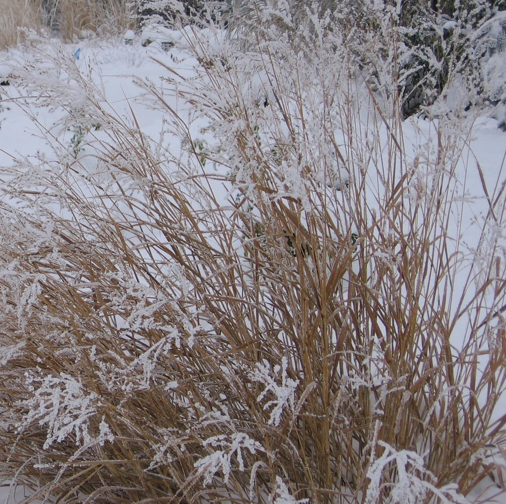 Switch grass - Panicum virgatum - in rare central Texas snow