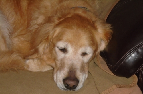 Zilla (Male/Neutered) 18-014  Approx. 7 years  Forever Foster
