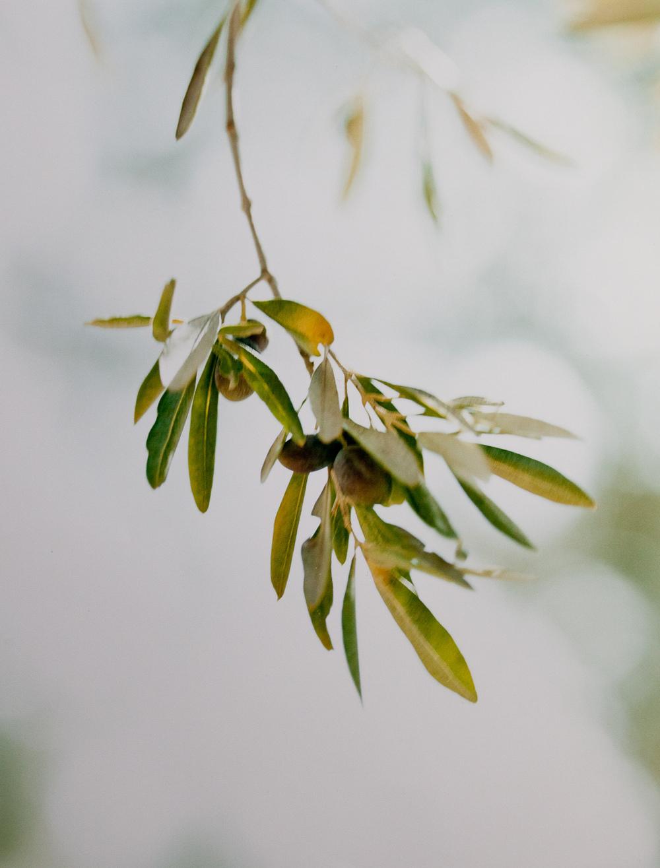 olive_branch (1 of 1).jpg