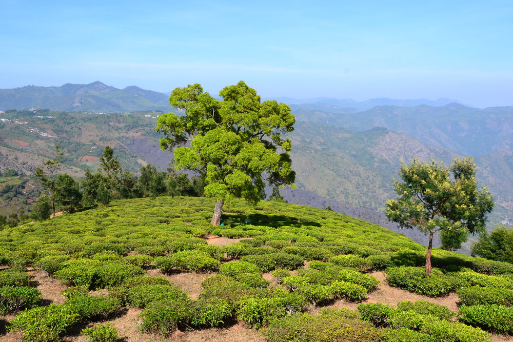 Tea bushes are given some (minimal) shading by silver oaks and other trees that are planted among them. Heartiness to full-sun conditions can also depend on the tea variety. Photo by Mathew McDermid