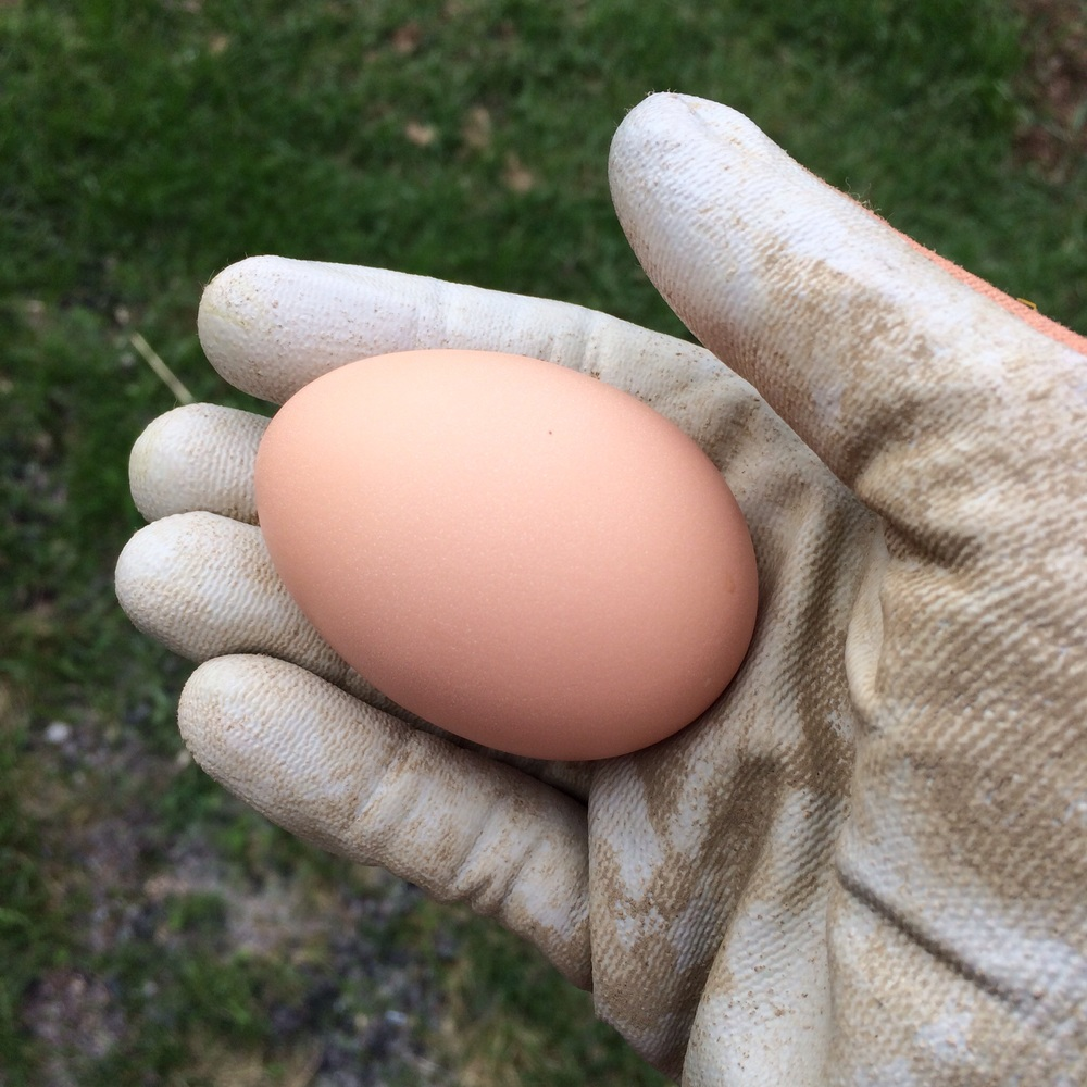 Most of the eggs we've been getting so far are adorably small pullet eggs. Occasionally we'll get full-sized beauties like this one.