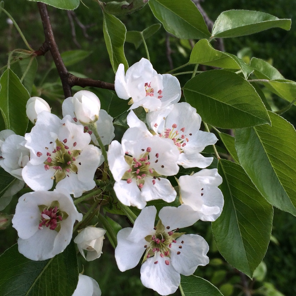Then on Monday.  These pear  blossoms have either very little scent or a terrible stench depending on how deeply you stick your nose in the flowers.