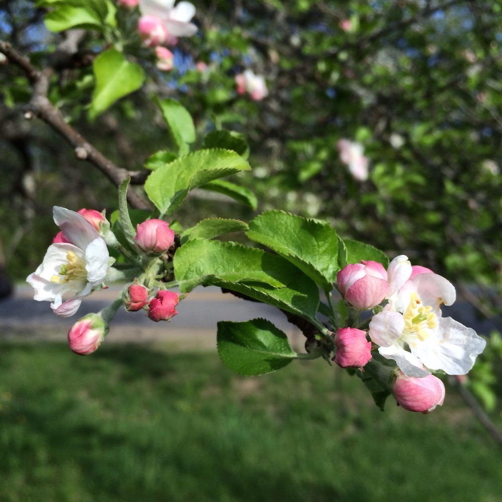 Opening a little more each day. Unlike the pear blossoms, the apple  blossoms smell fantastic.