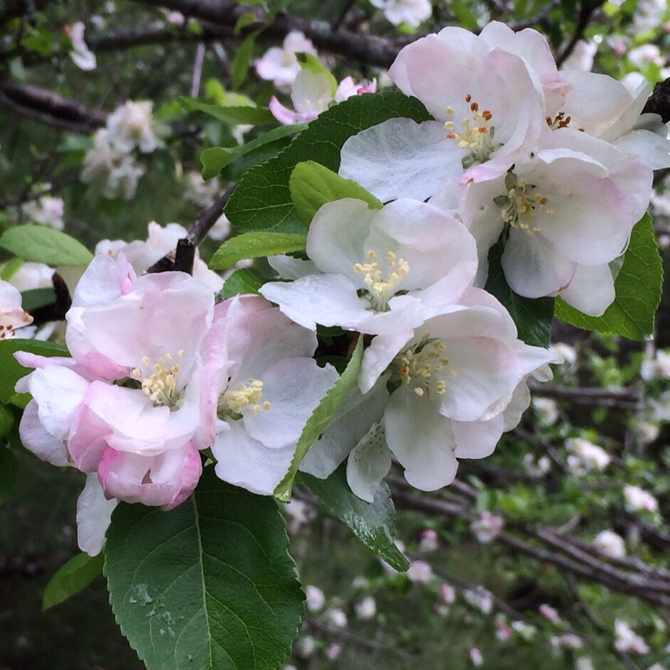 Blossoms on the cider apple at the far back of the fields.
