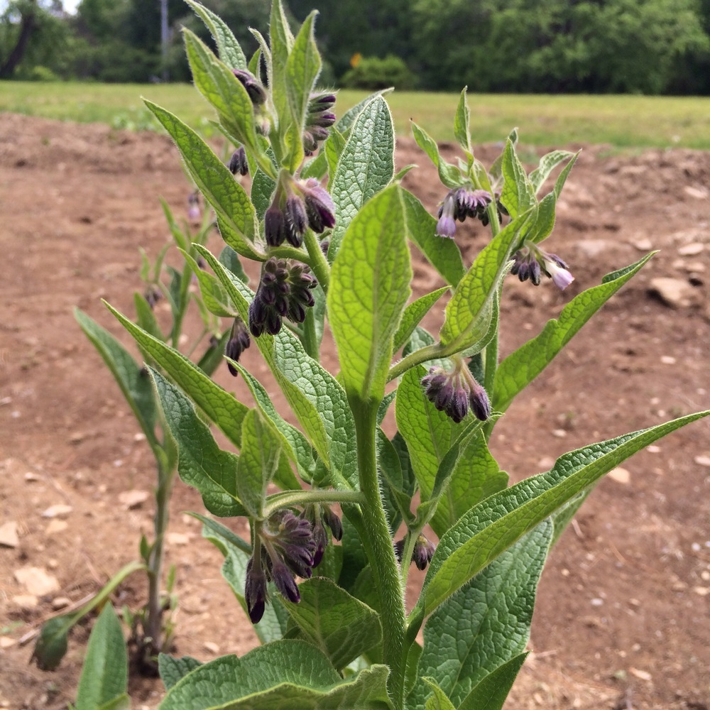 Comfrey in the medicinal herb garden.