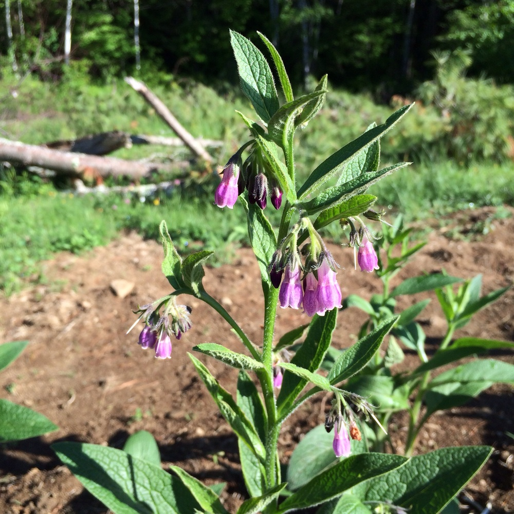 This is the first time I've ever grown comfrey and I'm smitten.