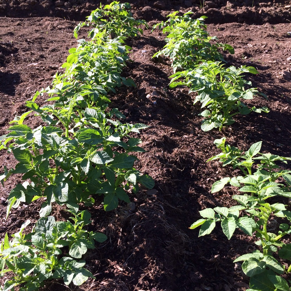 One of our potato beds