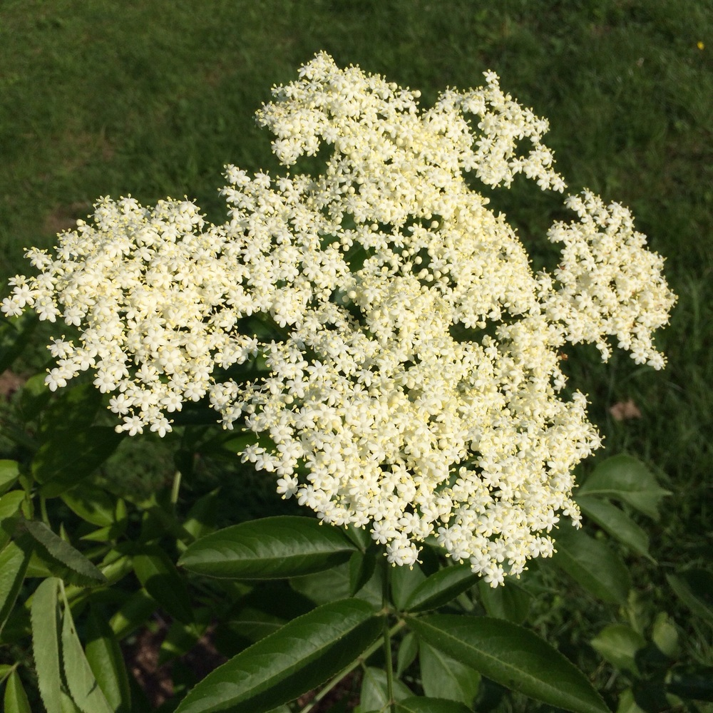 A few of our newly planted elderberries are flowering.
