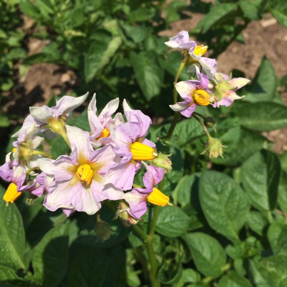 Two of our three potato beds are flowering and the flowers smell wonderful.
