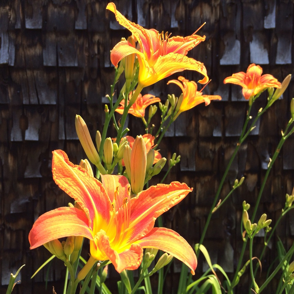 Daylilies in the bright light of midday sun.