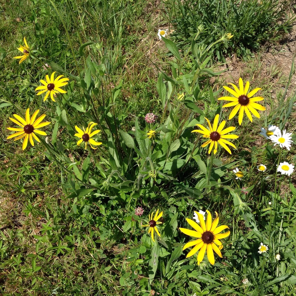 Wildflowers in the field, including Black-eyed Susans.