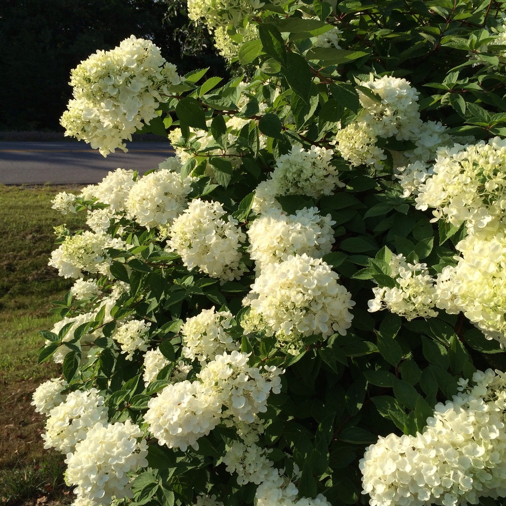 Hydrangea bush In the hot sun