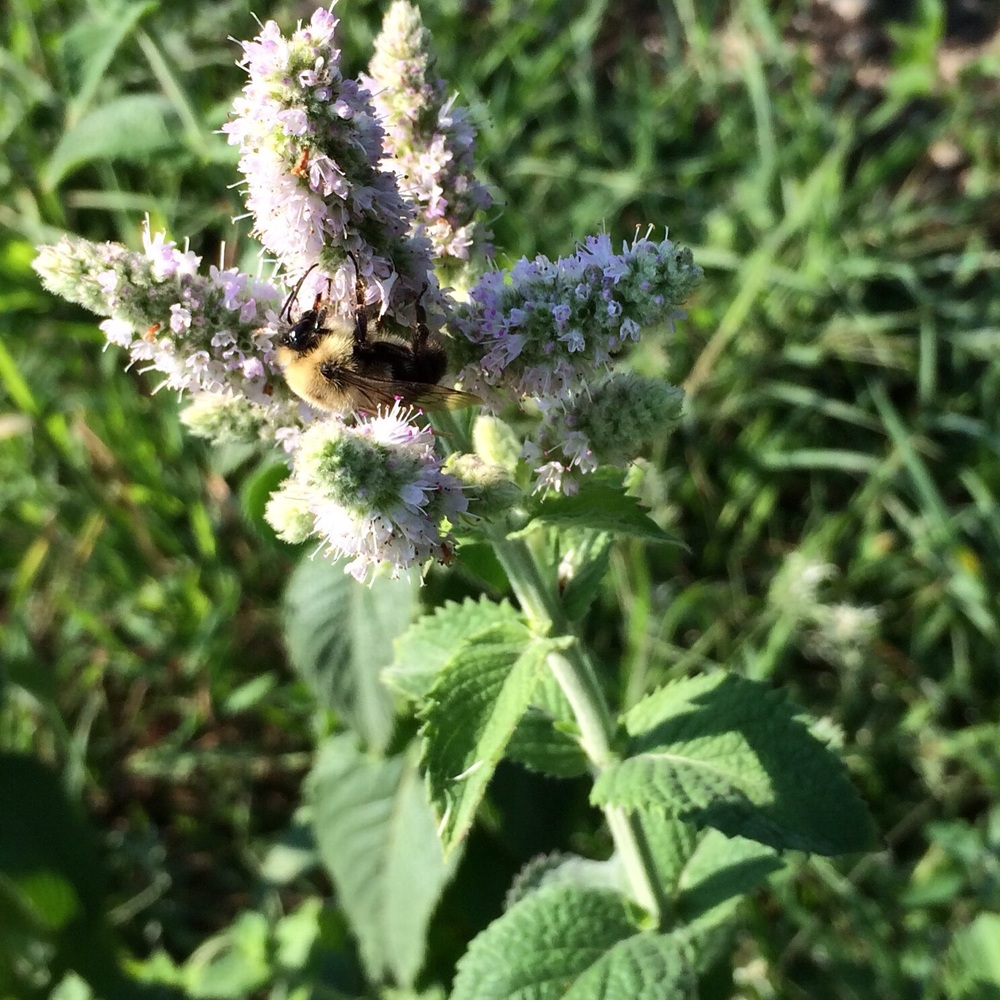 Bumble on the apple mint