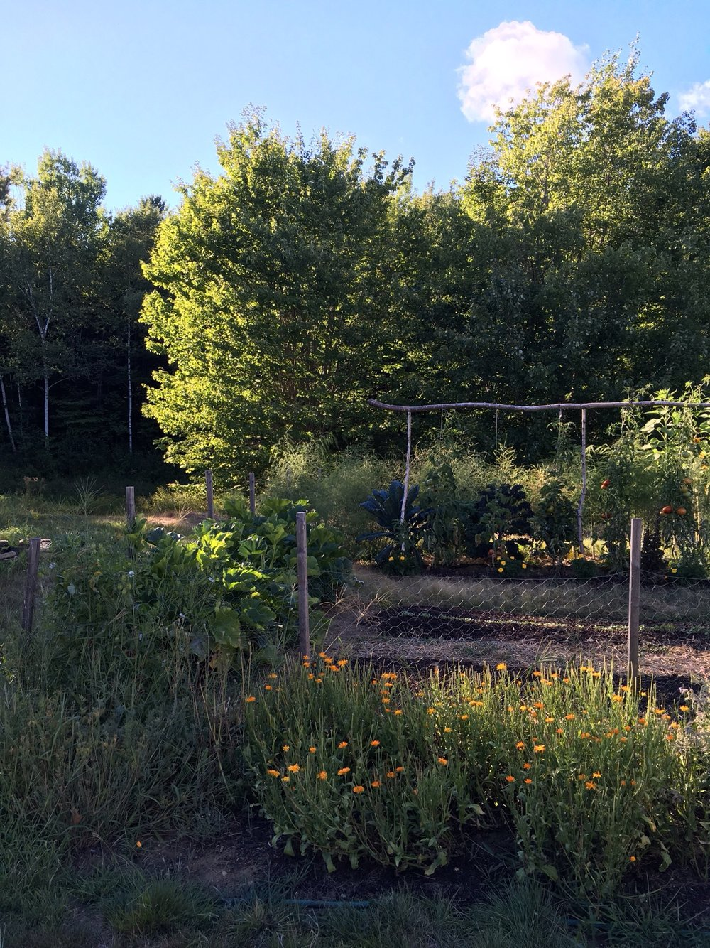 Front to back: more calendula, this year's garlic beds planted to fall lettuce and leafy brassicas, Mike's tomato trellis, kale trees behind, then asparagus and the start of the sunflowers on the far side of the garden.