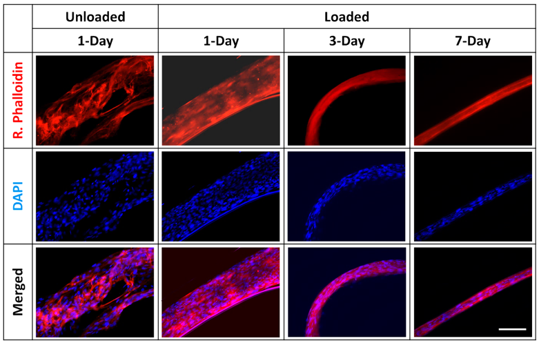 Changes in tendon fiber alignment and nuclear morphology in response to uni-axial loading.