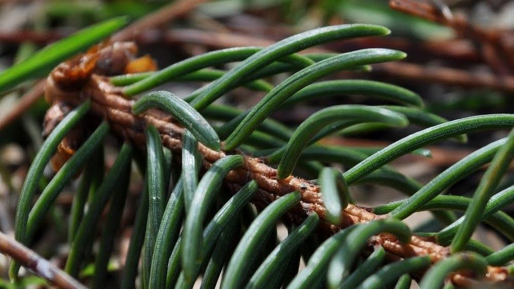 The dreaded pine needle.