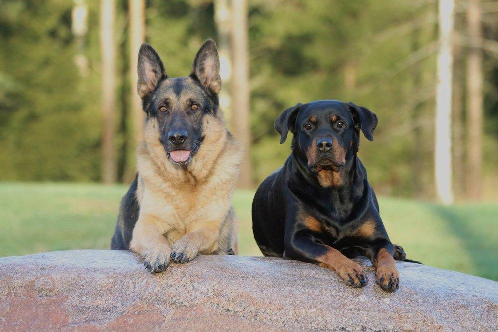 dog-mammal-german-shepherd-dogs-vertebrate-dog-breed-973183-pxhere.com.jpg