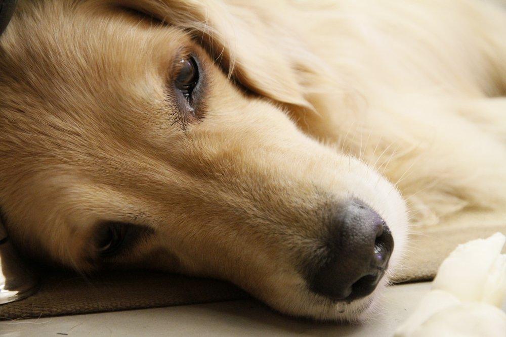 puppy-dog-pet-mammal-close-up-nose-896255-pxhere.com.jpg