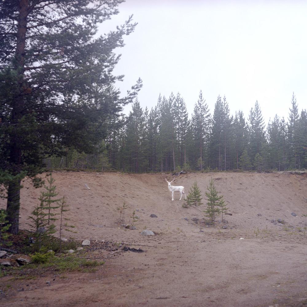 Plötsligt i skogen uppenbarar sig en vit ren. Norrbotten.