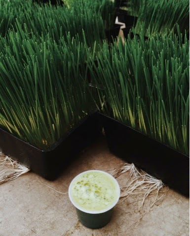 wheatgrass_model4greenliving
