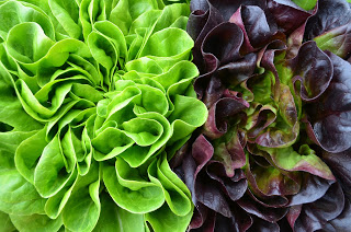 Provincial Leaf Lettuce
