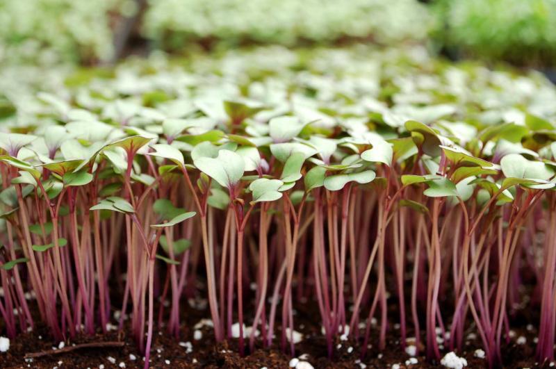 China Rose Microgreens