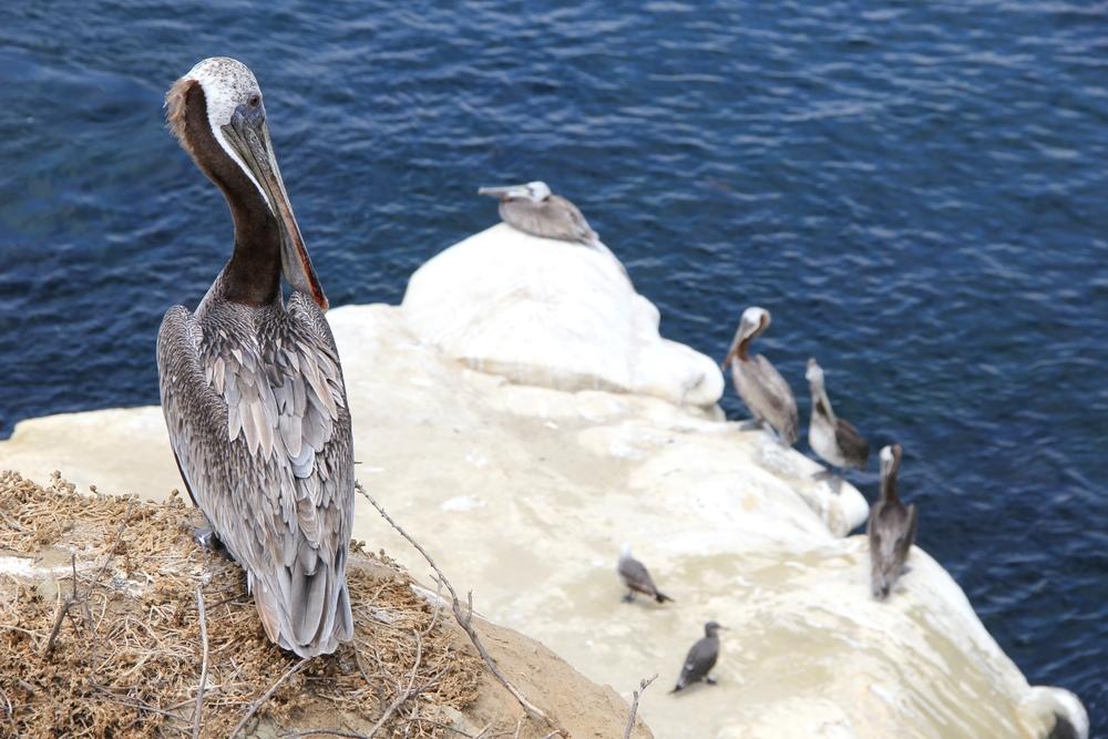 Pelicans in La Jolla